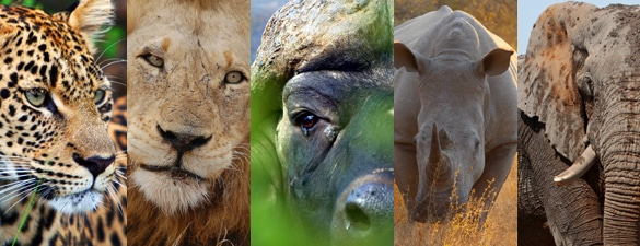 le big five, le graal du safari