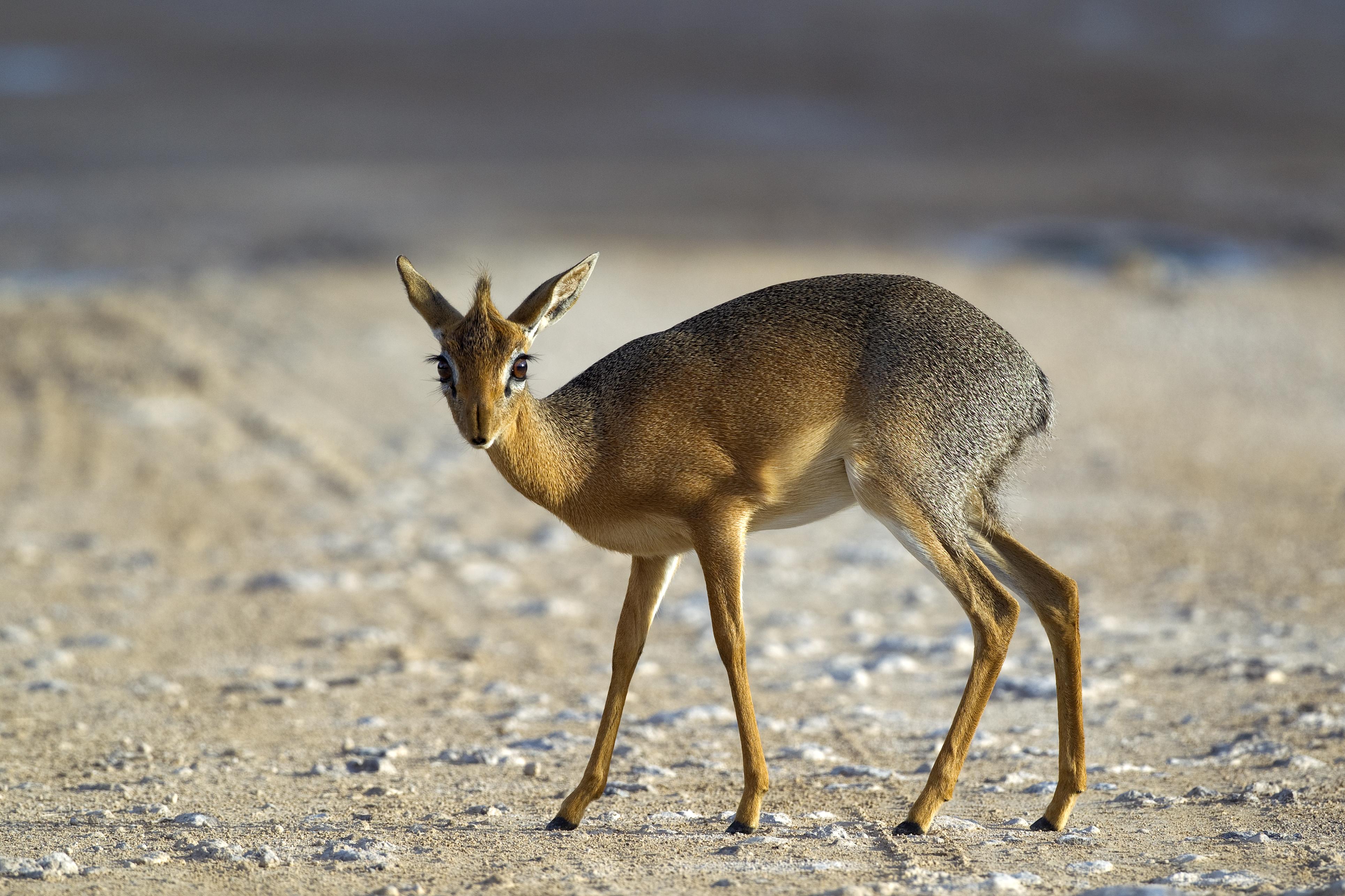 antilopes-afrique-du-sud
