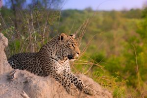 leopard-tranquille-afrique-du-sud-decouverte