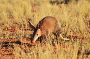 faune-Aardvark-kalahari-desert
