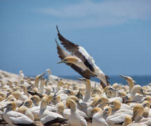 faune-cape-gannet-afrique-du-sud