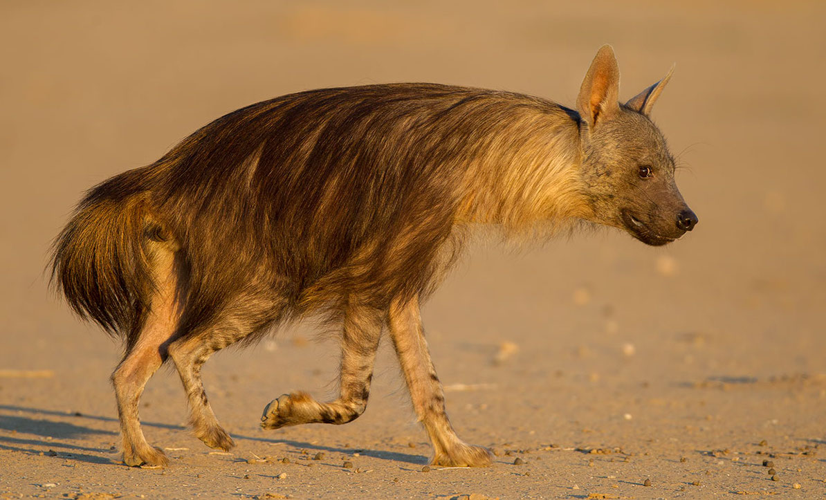 kalahari-hyene-brune