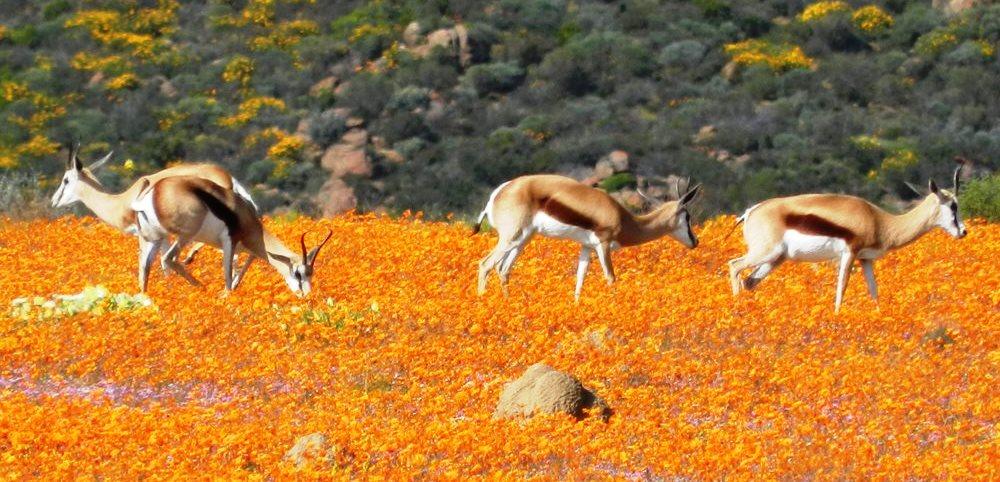 Namaqualand Fleurs A Profusion Afrique Du Sud Decouverte