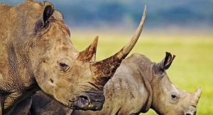 rhino-hluhluwe-imfolozi