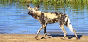 Lyacon ou Wild Dog
