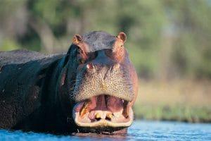 hippopotame-isimangaliso-afrique-sud-decouverte