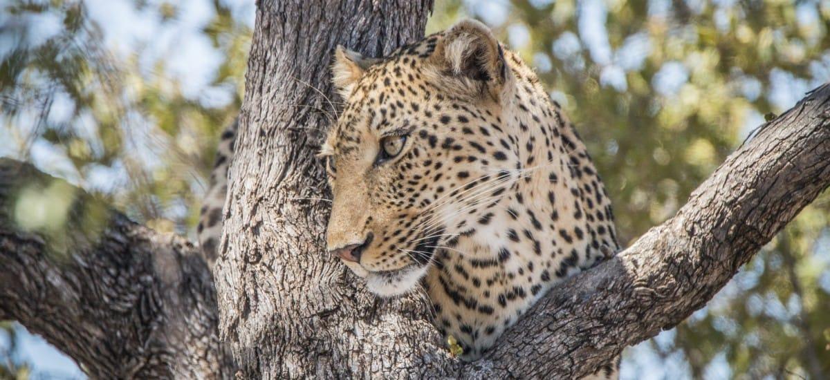 Leopard au Kruger