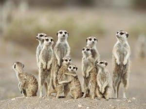 suricate-groupe-debout-afrique-sud-decouverte