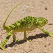 A green South African Chameleon seen in Kruger Park, South Africa.