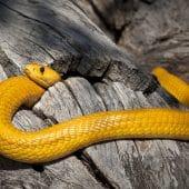 Cobra-jaune-du-cap
