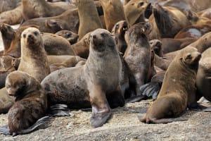 Colonie de phoque a fourrure péninsule du Cap
