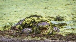 crocodile-du-nil-vase-is-afrique-du-sud-decouverte