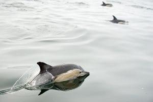 Delphinus capensis dans les eaux d'Afrique du Sud