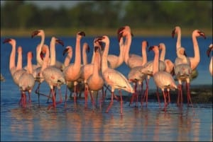 flamands-isimangaliso-wetland-parc-afrique-du-sud-decouverte