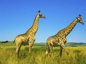 girafe-is-afrique-du-sud-decouverte