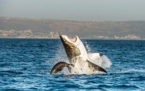 Le grand requin blanc en Afrique du Sud
