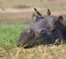 Circuit Afrique du sud - Hippopotame à Santa Lucia