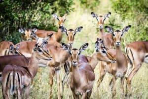 impalas-is-afrique-du-sud-decouverte