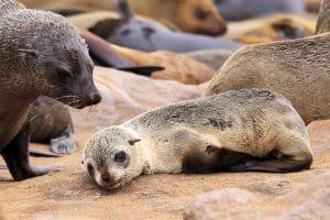 Bébé phoque au Cap de bonne espérance en Afrique du Sud