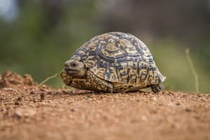Selati Game Reserve, tortue léopard