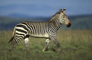 zebre des montagnes - afrique-du-sud découverte