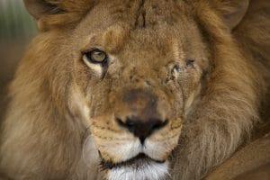 lion-shakira-sauve-cirque