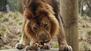 readaptation-lion-peruvien-afrique-du-sud