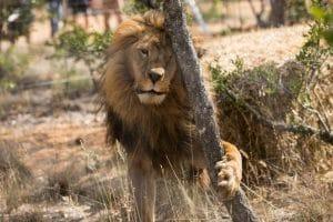 sauvetage-lion-de-cirque