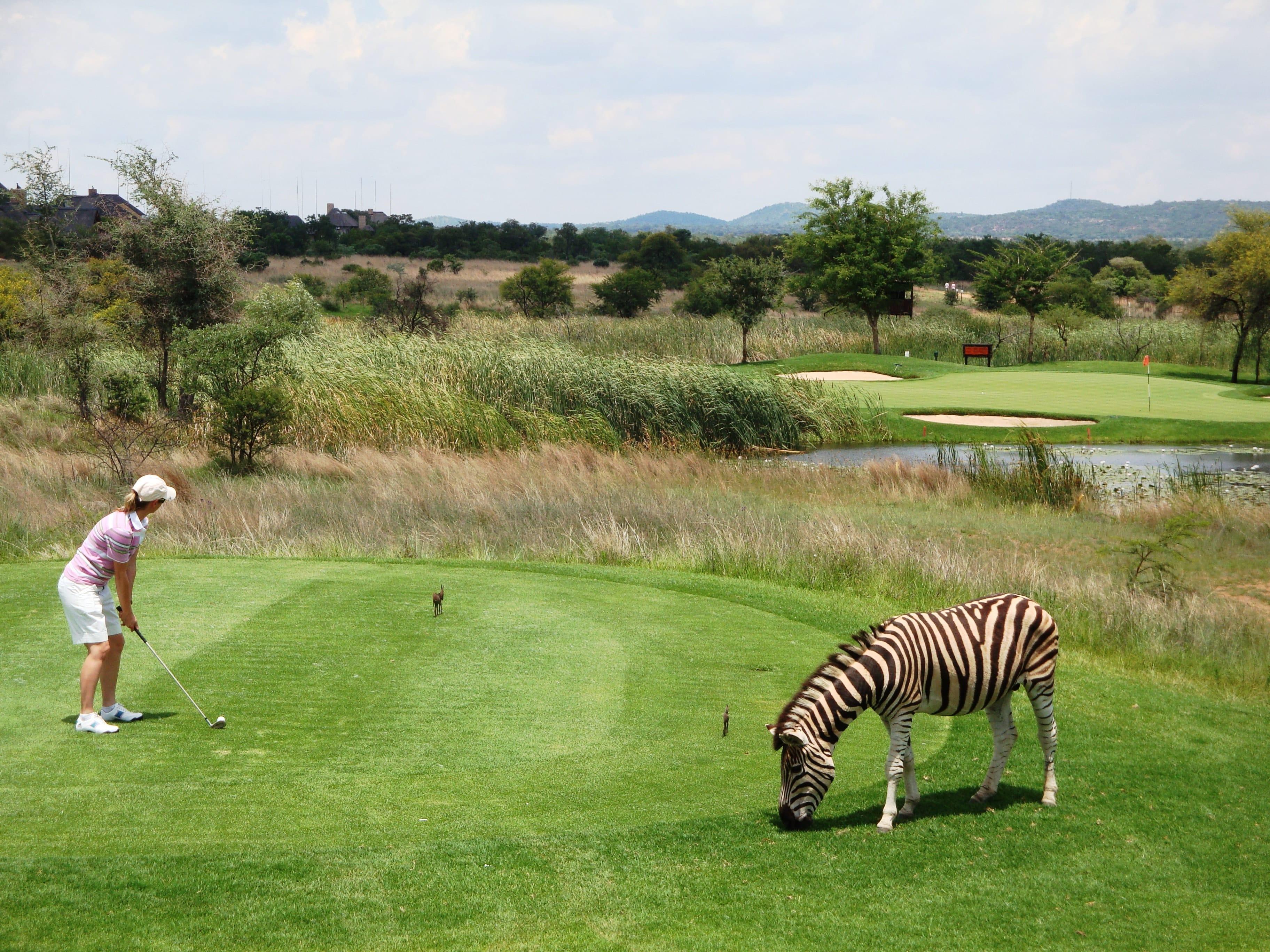 sport-golf-zebre-afrique-du-sud-decouverte