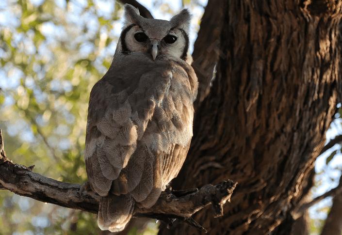 faune-Grand-duc-Verreaux-afrique-du-sud