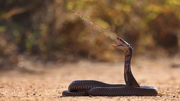 faune-Rinkhals-serpent-afrique-du-sud