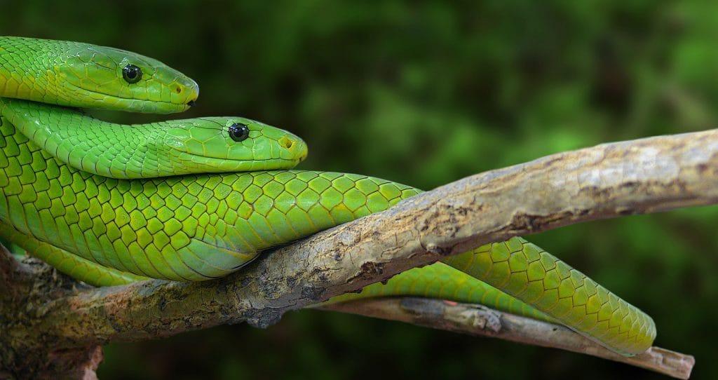 faune-serpent-mamba-vert-oriental