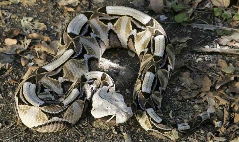 faune-vipere-gabon-afrique-du-sud
