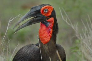 southern-ground-hornbill-is-afrique-sud-decouverte