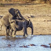accouplement-elephant-kruger-afrique-sud-decouverte