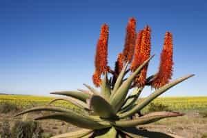 aloe-fleur-is-afrique-du-sud-decouverte