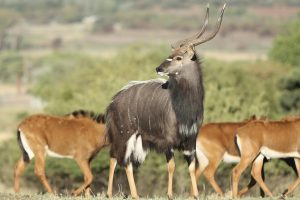 antilope-nyala-male-femelle-afrique-sud-decouverte