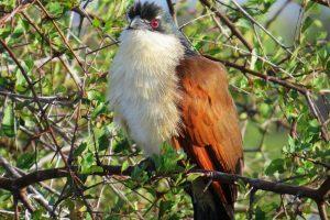burchells-coucal-afrique-sud-decouverte