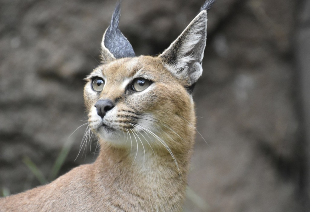 caracal-is-afrique-sud-decouverte