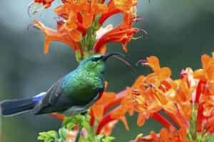 collared-sunbird-is-afrique-sud-decouverte