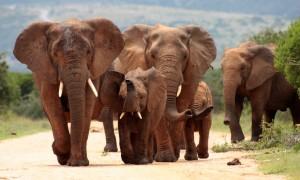 elephant-famille-is-afrique-du-sud-decouverte
