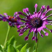 fleur-african-daisy-osteospermum-afrique-du-sud-decouverte