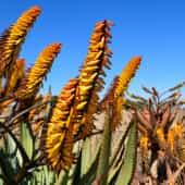fleur-aloe-afrique-du-suddecouverte