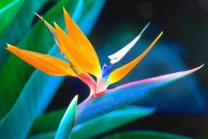 fleur-oiseau-paradis-afrique-du-suddecouverte