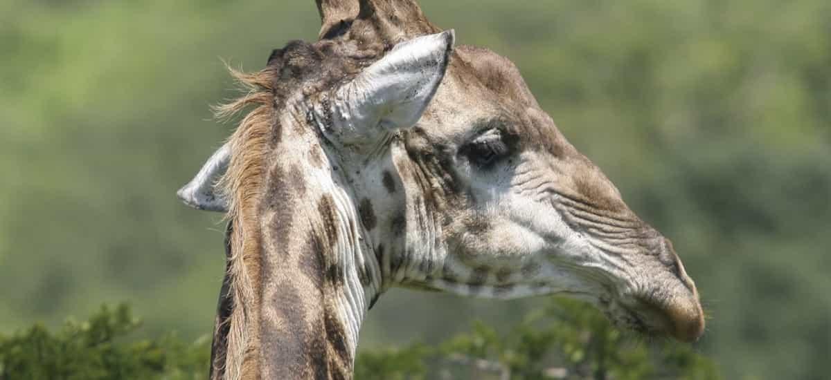 Girafe parc national hluhluwe umfolozi