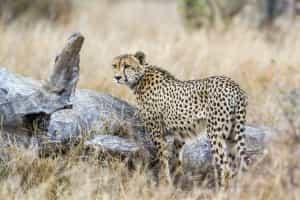 guepard-affut-is-afrique-du-sud-decouverte