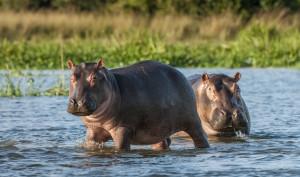hippopotame-bebe-is-afrique-du-sud-decouverte