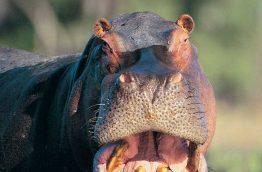 Hippopotame à Isimangaliso avec Afrique du Sud découverte