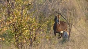 hippotrague-noir-femelle-afrique-sud-decouverte