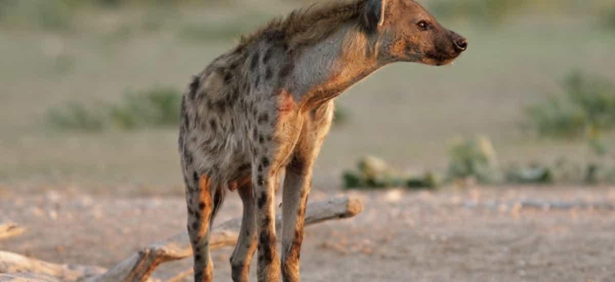 Circuit Afrique du sud - Hyene